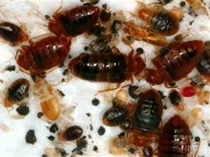 dirty bed bugs